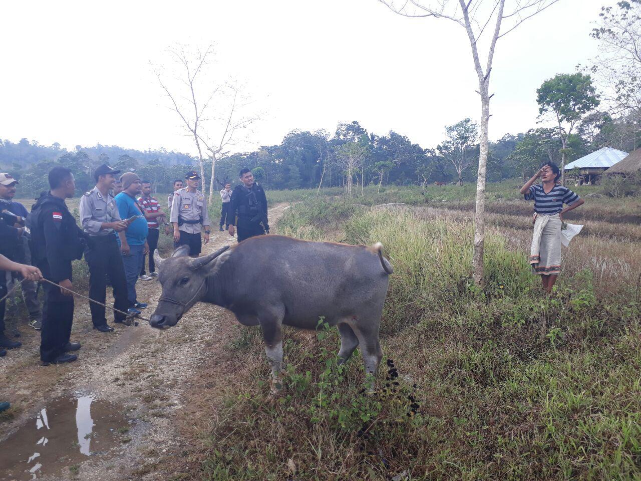 Kapolres Sumba Barat Pimpin Operasi Padang Penyisiran Hewan Ternak Bersama Pasukan BKO Polda NTT