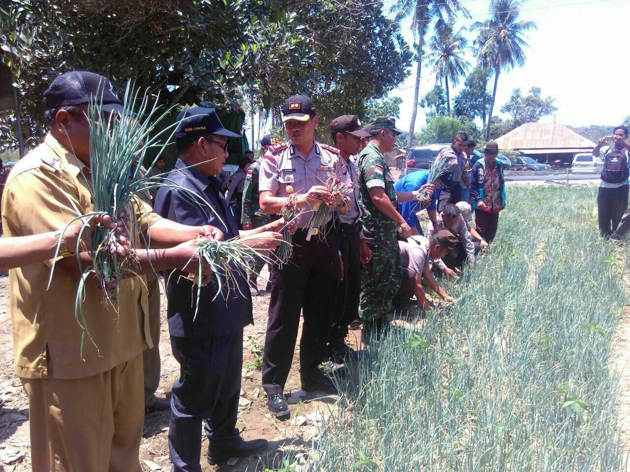Pilot Project   Panen Perdana Bawang Merah Kelompok Tani Bhayangkara Bersama Kapolres Sumba Barat