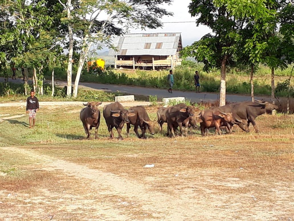 14 Ekor Kerbau Berhasil Diamankan oleh Tim Gabungan dari Kawanan Pencuri